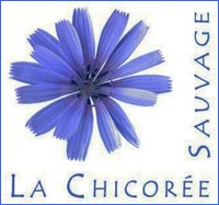 chicoree-sauvage